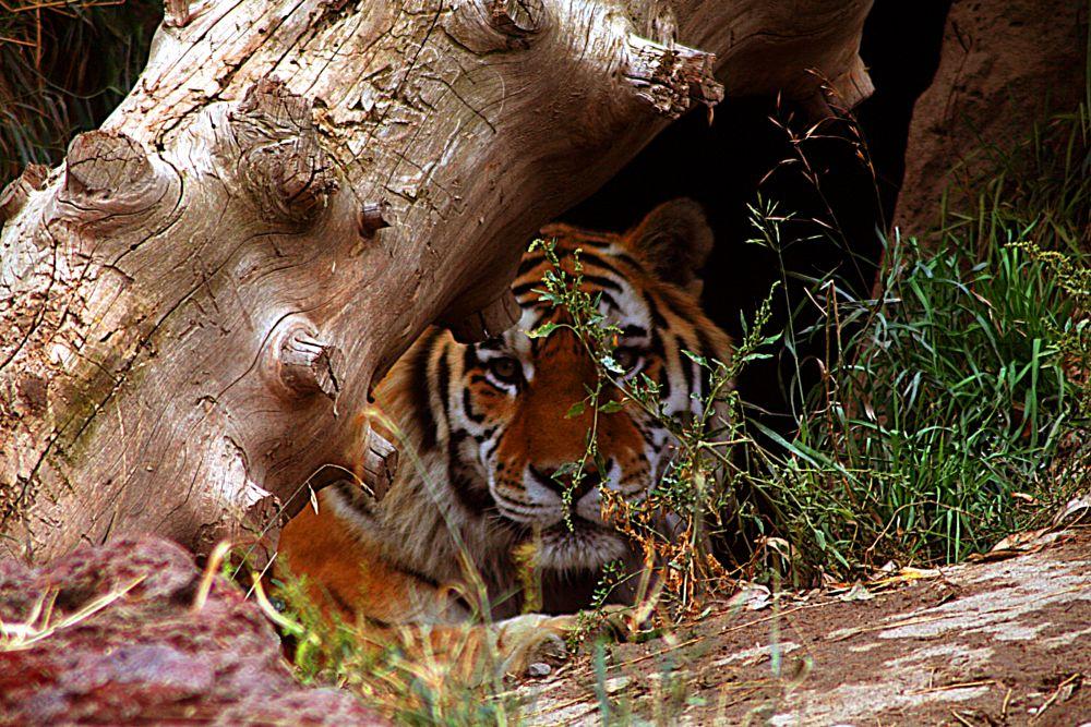 Photo in Animal #tautphaus zoo #amur tiger #wild animal