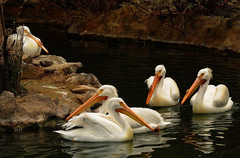 Photo in Animal #pelicans #tautphaus zoo