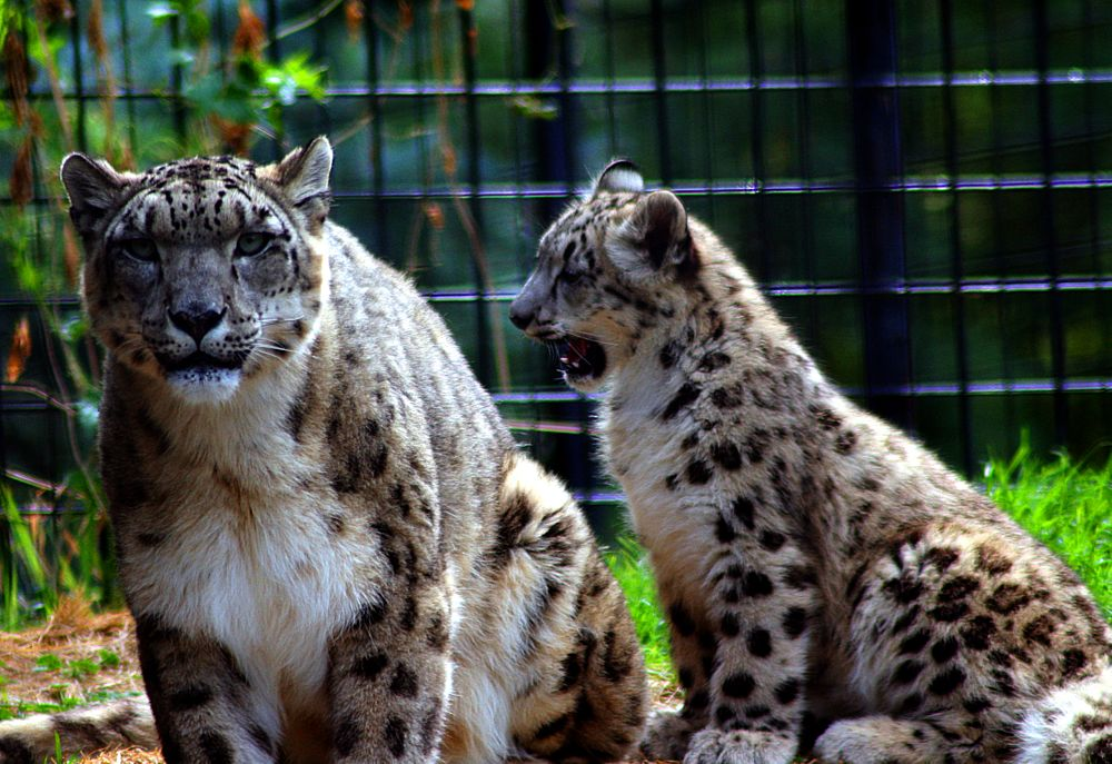 Photo in Animal #snow leopards #tautphaus zoo #wild animals