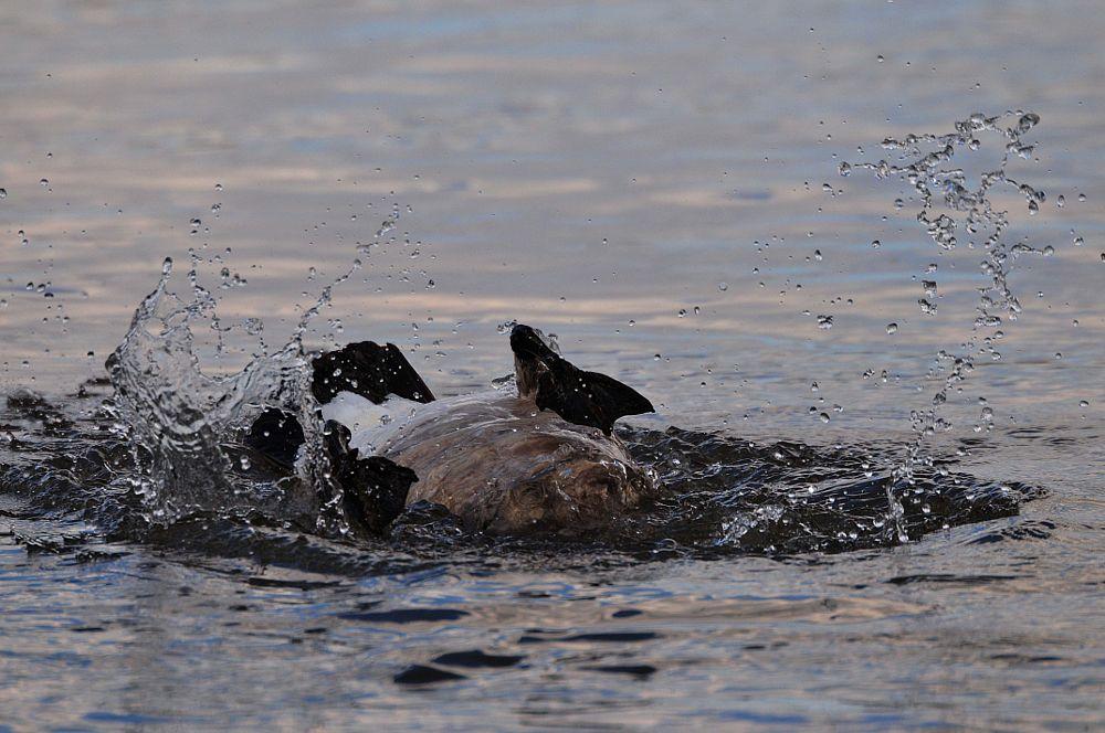 Photo in Random #snake river #canada goose #idaho