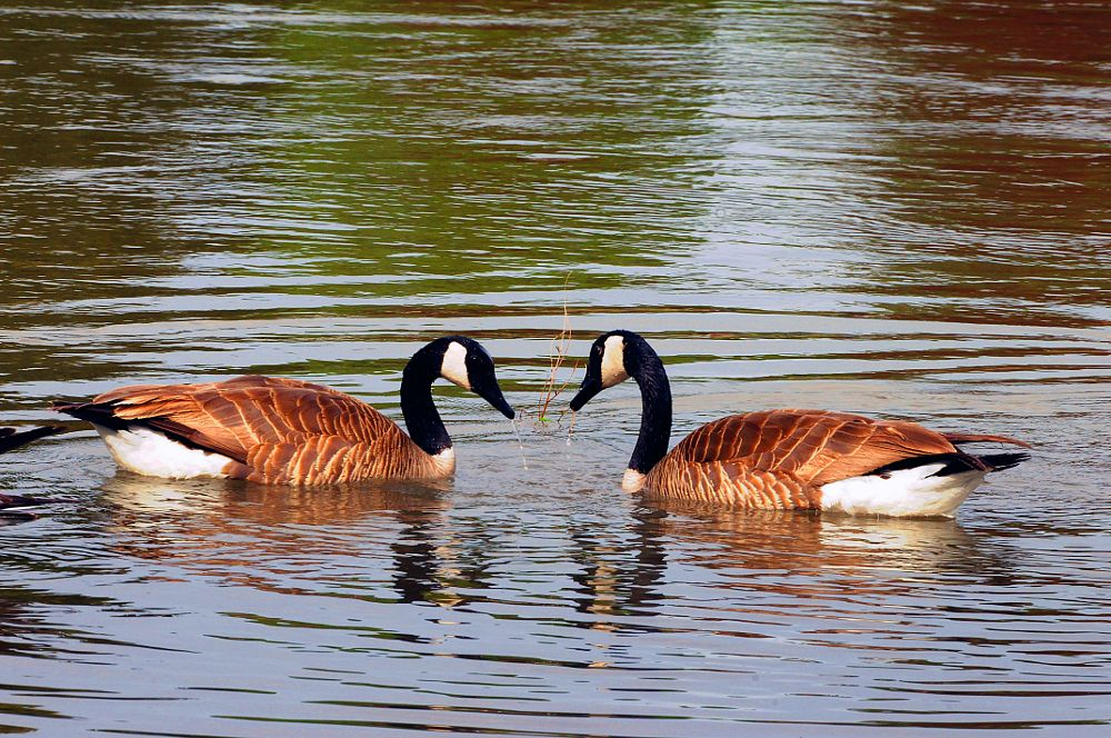 Photo in Random #canada geese #snake river #idaho