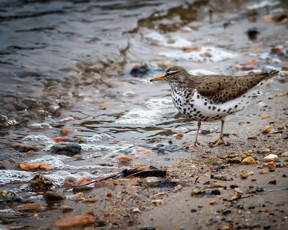 Photo in Nature #spotted #sandpiper #lake #shore