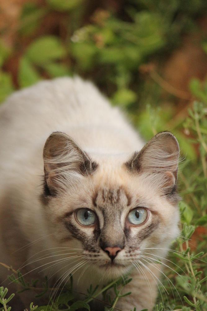 Photo in Animal #cat #cute #young #young cat #blue eyes #eyes #bernardo marques photography #bernardo marques #canon #canon eos 550d #canon 550d #muddrifter #bshikari