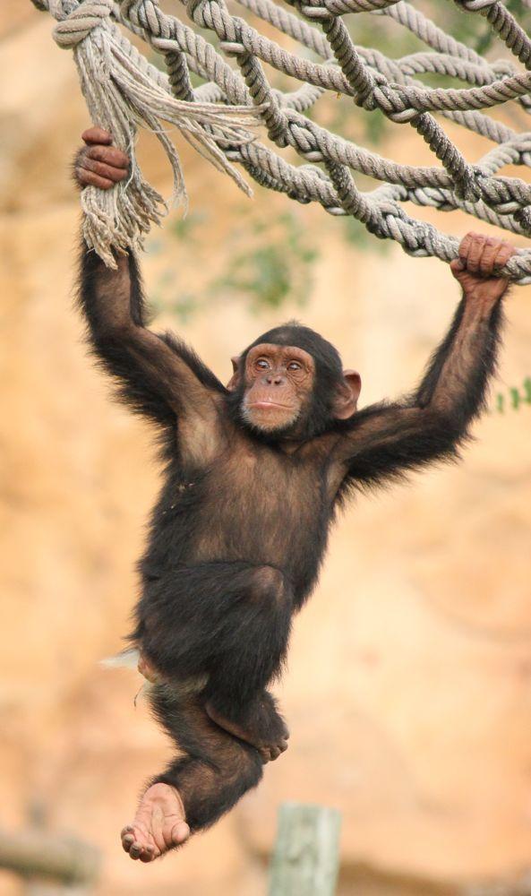 Photo in Animal #chimpanzee #pan troglodyte #zoo #zoo de lisboa #lisbon zoo #lisbon #bernardo marques #bernardo marques photography #muddrifter #bshikari #canon #canon eos 550d #canon 550d
