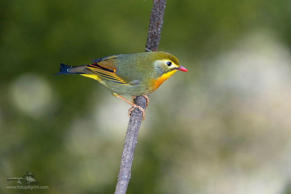 Photo in Animal #red billed leiothrix #colours #canon #canon7dmark2 #bird #bird photography #avian photography #wildlife photography #colourful birds #indian birds #birds of india