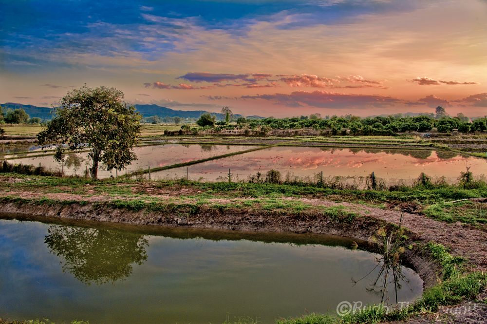 Photo in Landscape #northern thailand #rice field #sunset
