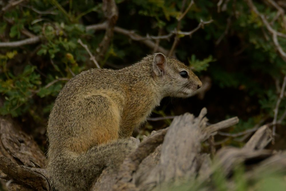Photo in Animal #squirrel #animal #wild #safari #frans van heerden's photograph #nikon