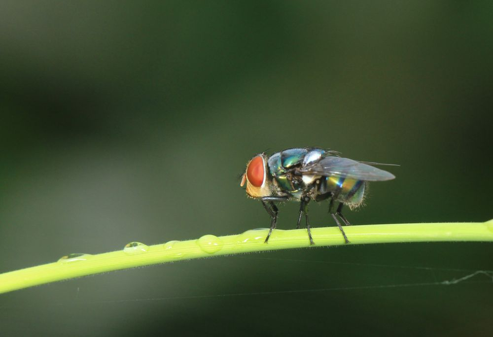 Photo in Macro #fly #red eye fly #green fly #macro #closed up
