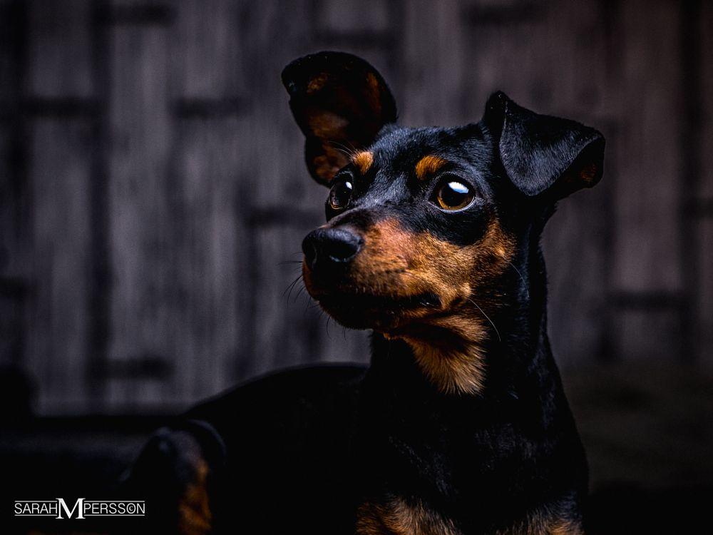 Photo in Animal #miniturepinscher #speedlight #sonya7 #zeiss #dog #softbox