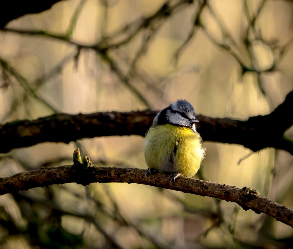 Photo in Nature #blue tit #birds #nature #woods #woodland