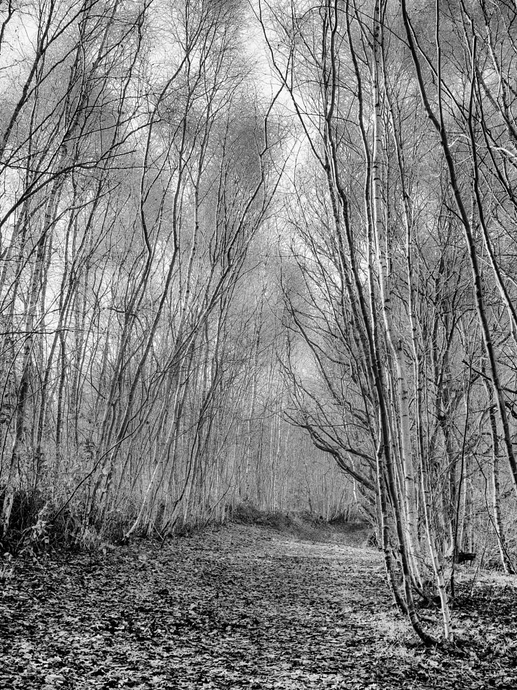 Photo in Black and White #birch #trees #path #nature #woods #woodland