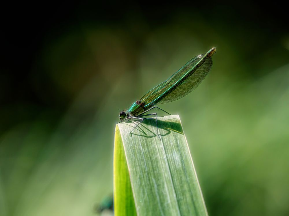 Photo in Nature #nature #ponds #damselfly #odonata #insects #macro #demoiselle