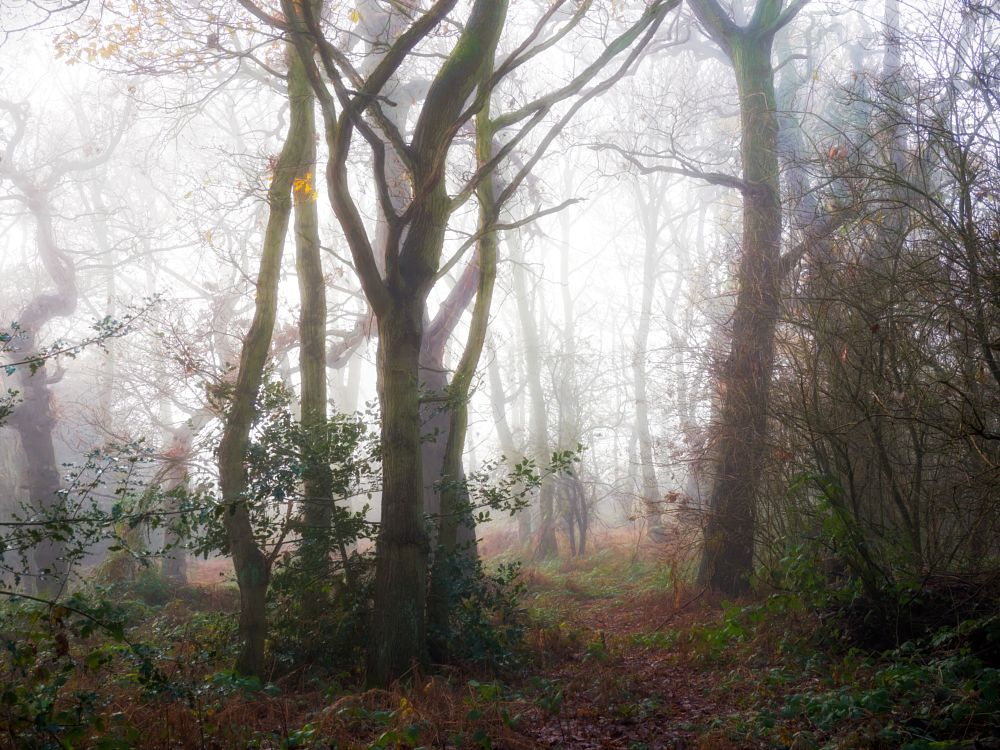 Photo in Nature #nature #trees #woods #woodland #fog #mist #winter