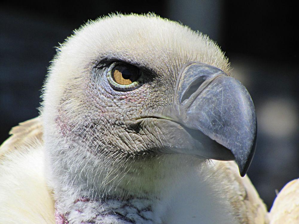 Photo in Random #cape vulture #vulture #bird #raptor #south africa #western cape #cape town