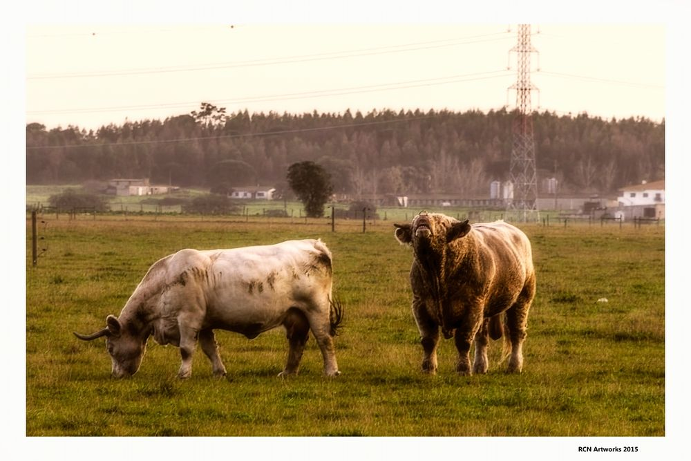 Photo in Animal #bull #cow #mating #tender #country #field #grazing