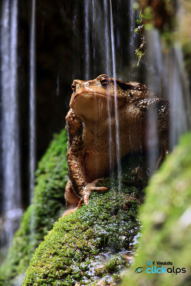 Photo in Animal #frog #water #wet #green #pennavaire #ferraia #liguria #piemonte #caprauna
