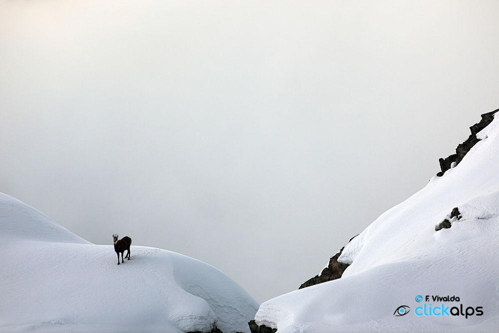 Photo in Animal #chamois #camoscio #mercantour #alps #marittime #white #snow #cold