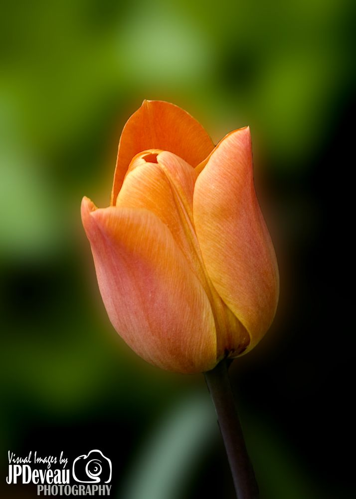 Photo in Random #tulip spring edward's garden