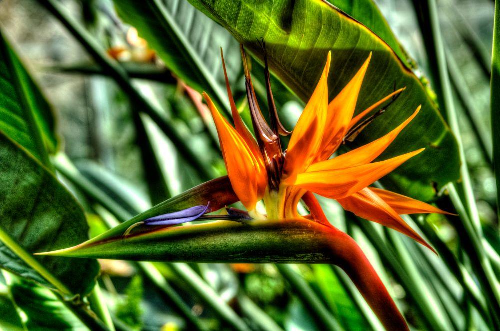 Photo in Random #flower #birdofparadise #strelitzia