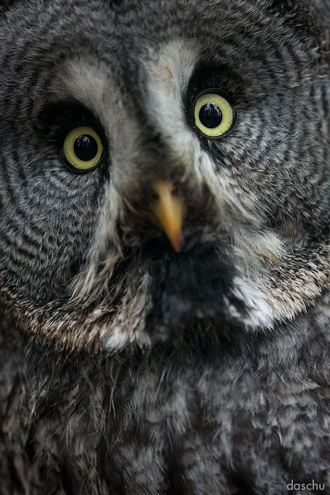 Photo in Animal #great grey owl #owl #eule #night #dark #active #eyes #bird