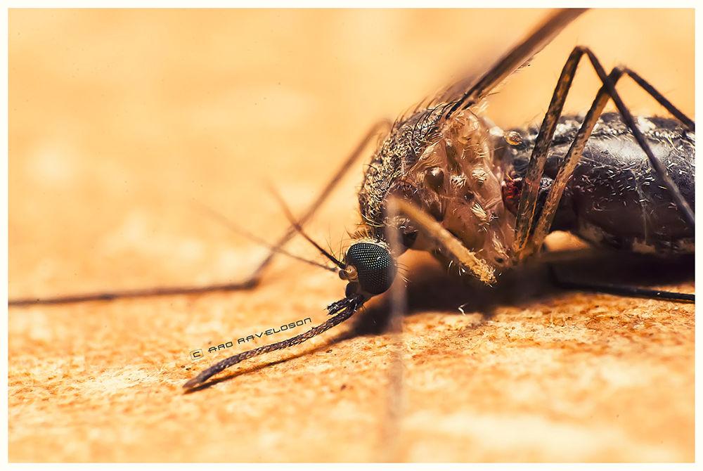 Photo in Macro #macro #nikon d60 #reverse ring #18-55 #mosquito #blood #madagascar