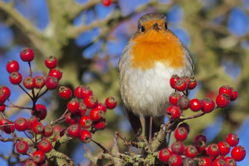 Photo in Nature #robin #christmas #red #berries #bird #small #nature #redrobin