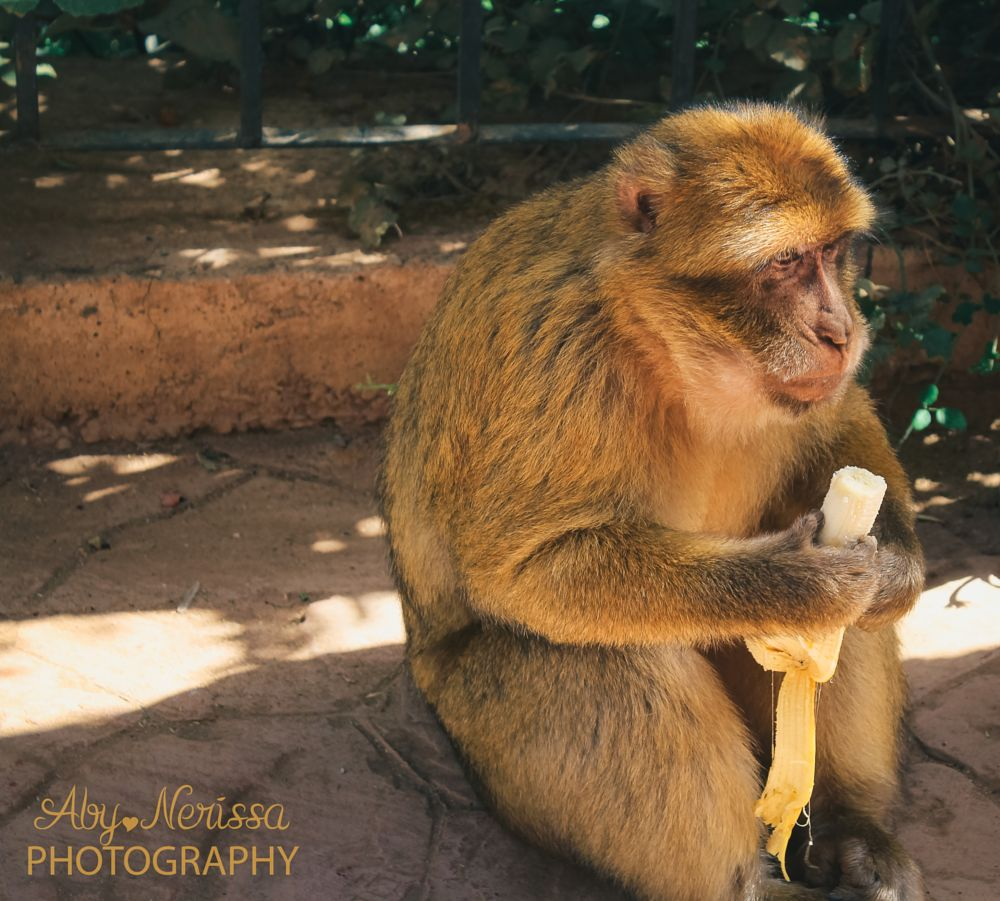 Photo in Animal #morocco #monkey #banana
