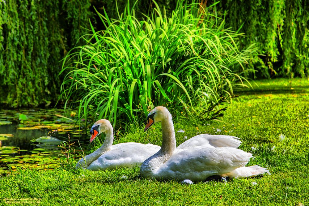 Photo in Nature #swans #birds #nature #canon #photogaphotography