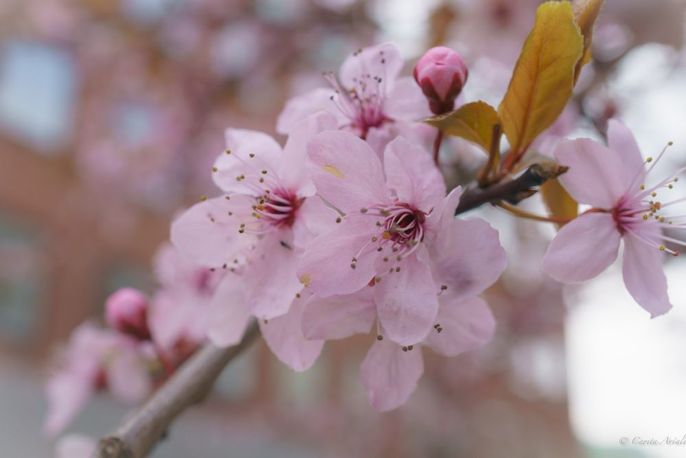 Photo in Nature #spring flower nature cherry pi #tree #branch