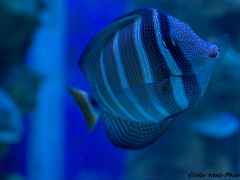 Photo in Animal #fish blå planet denmark animal #aquarium
