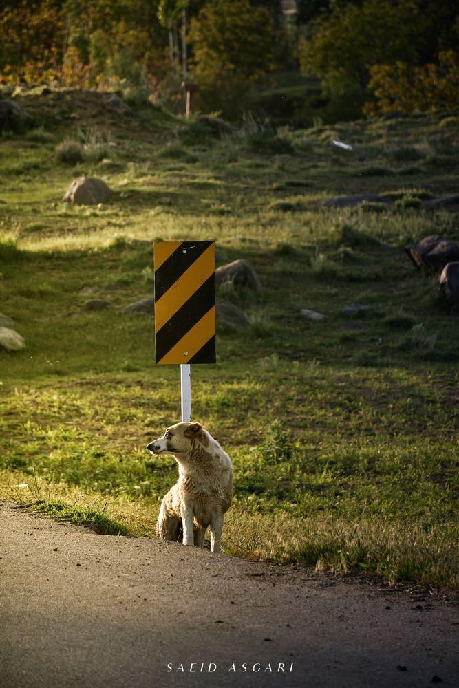 Photo in Animal #iran #hamadan #toyserkan #dog #animal #nikon #saeid asgari #spring #road