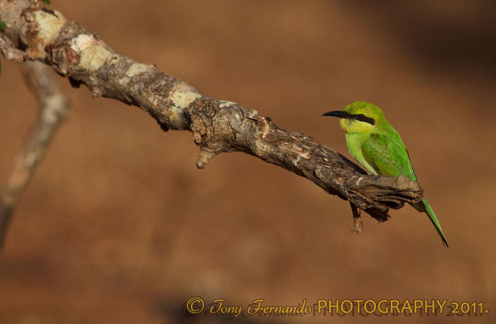 Photo in Nature #green bee-eater #merops orientalis #bee-eater #nature #sri lanka #birds #yala national park #telephoto