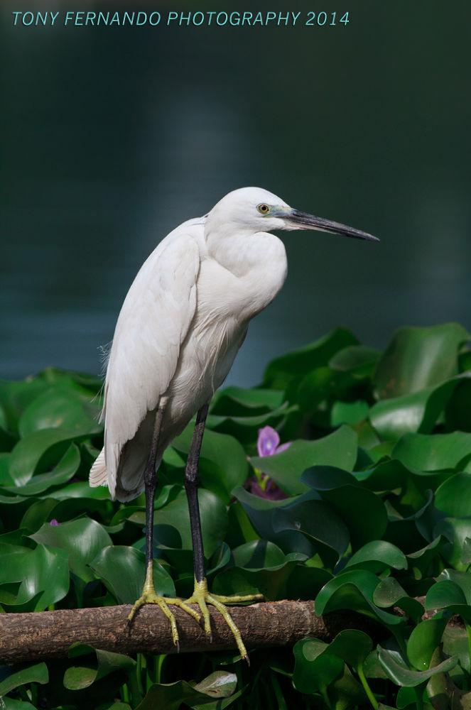 Photo in Nature #water #egret #nature #birds #sri lanka