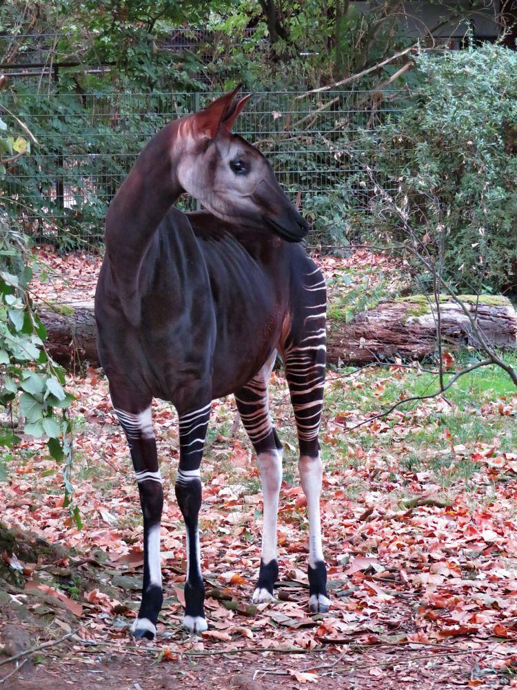 Photo in Animal #giraffe #okapi #forest #forest gireffe #waldgiraffe