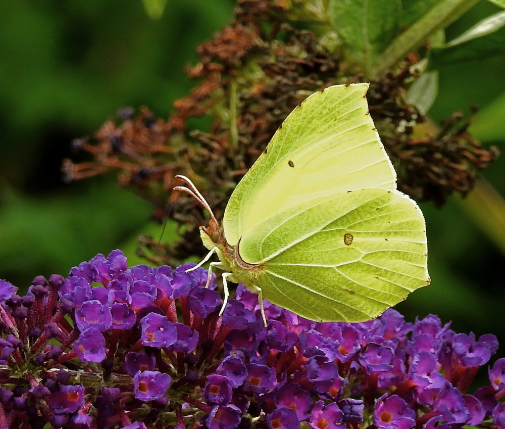 Photo in Animal #butterfly #citron #cabbage