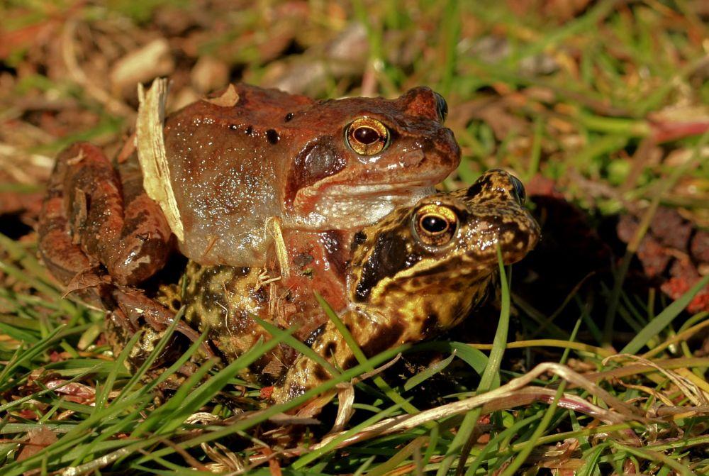 Photo in Animal #frog #love #animal