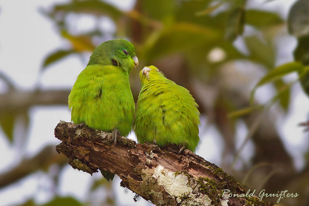 Photo in Animal #blue-winged parrotlet #birds #brazil #brasil #ronald gruijters #mata atlantica #atlantic forest
