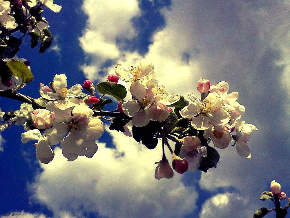 Photo in Nature #clouds #sky #blue #apple #blossom #flowers