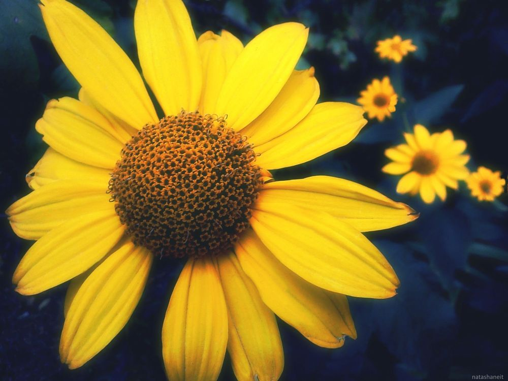 Photo in Nature #beauty blooms #nature #summer #flowers #daisy #yellow