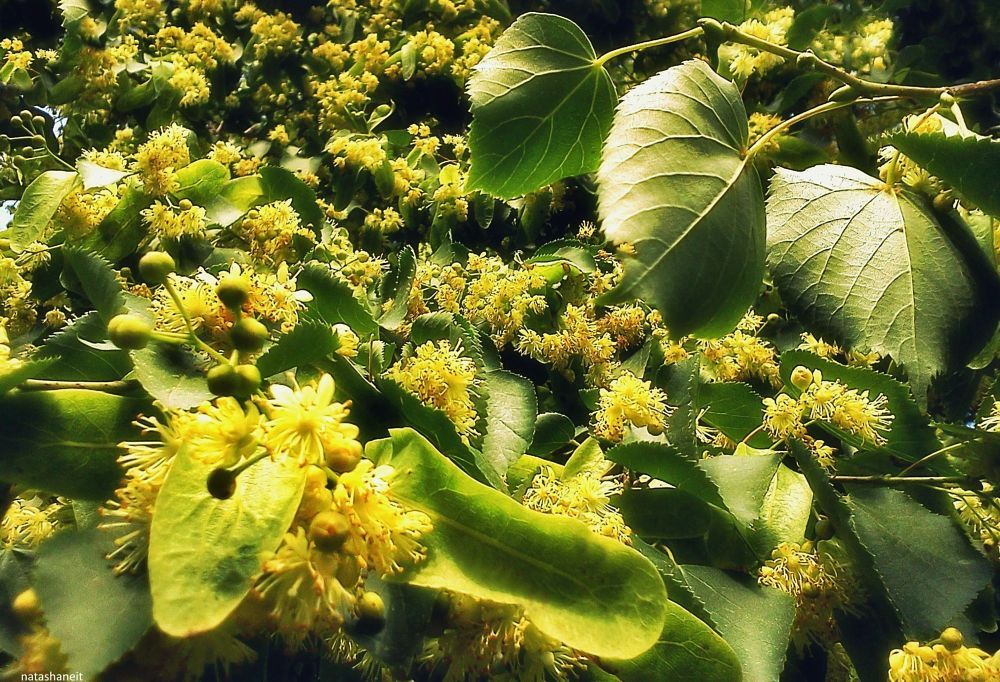 Photo in Nature #linden #blooming #nature #summer