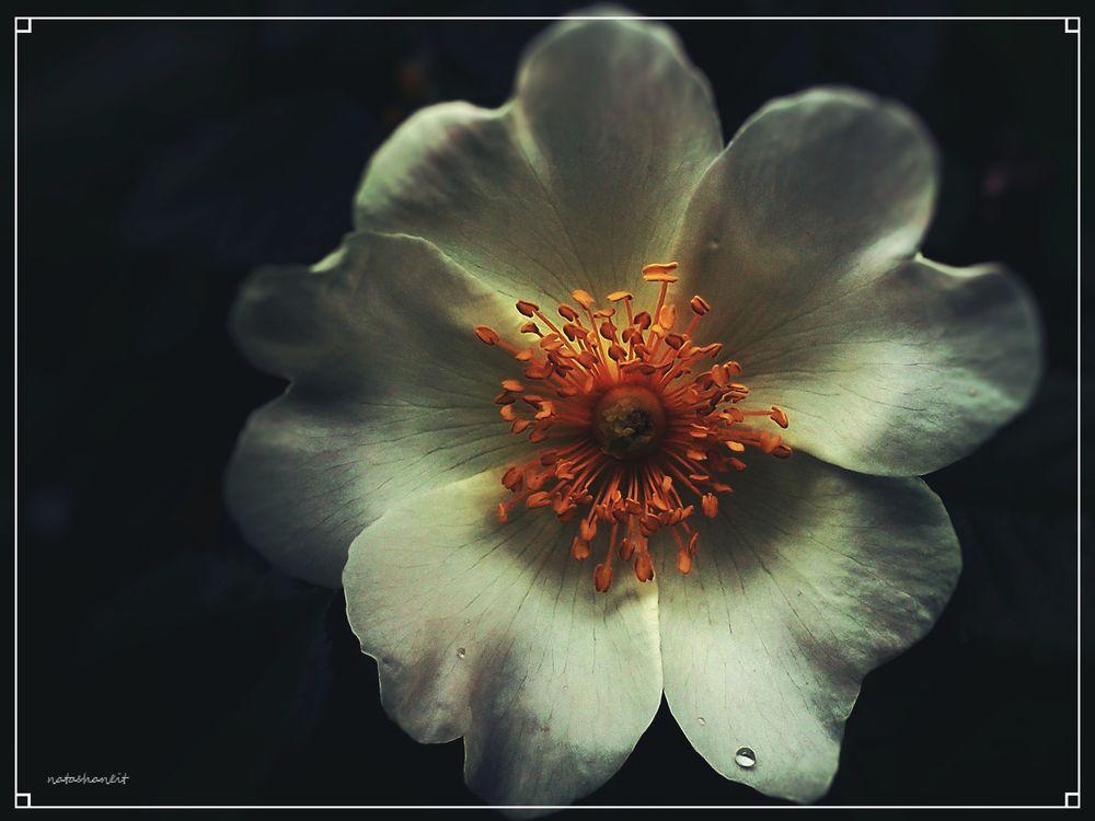 Photo in Fine Art #flower #rosehip #drop #nature #summer #fine art