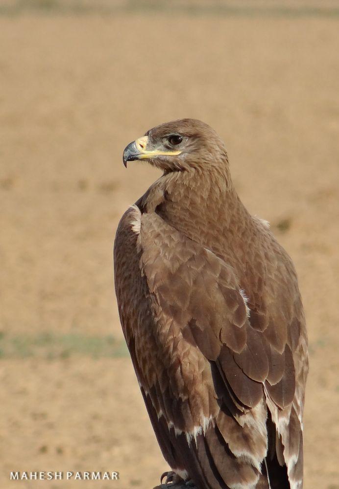 Photo in Random #bird wild nature stepeeagle