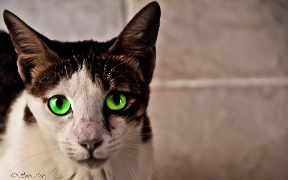 Photo in Animal #cat #green #green eyes #egyptian mau