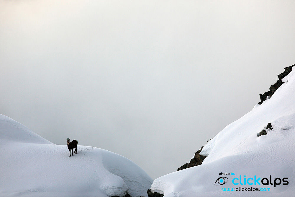 Photo in Nature #animals #mammals #camoscio #chamois #white #snow #alps #moutains #ungulati #animali montagna #neve