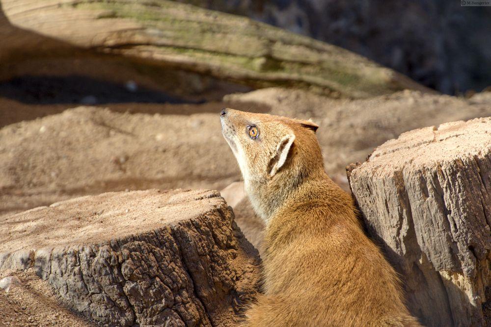 Photo in Animal #animal #meerkat #suricata suricatta