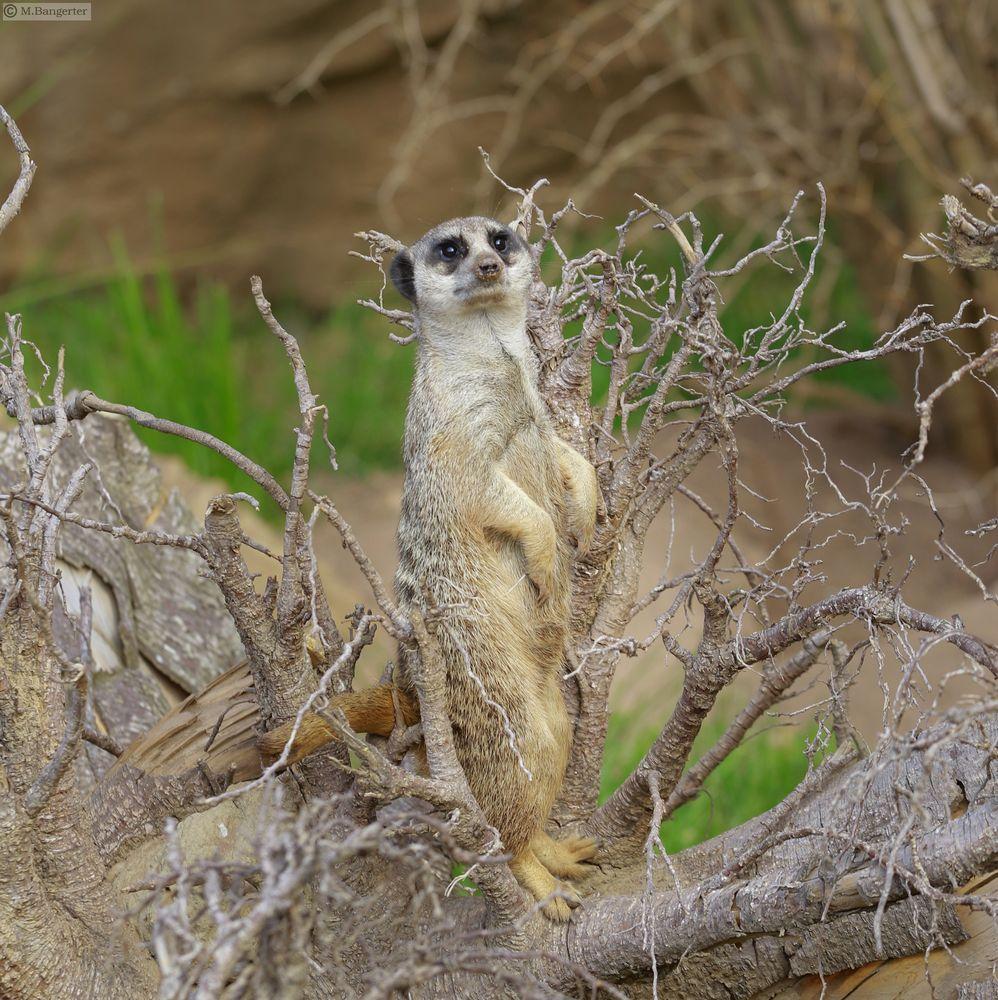 Photo in Animal #animal #suricata suricatta