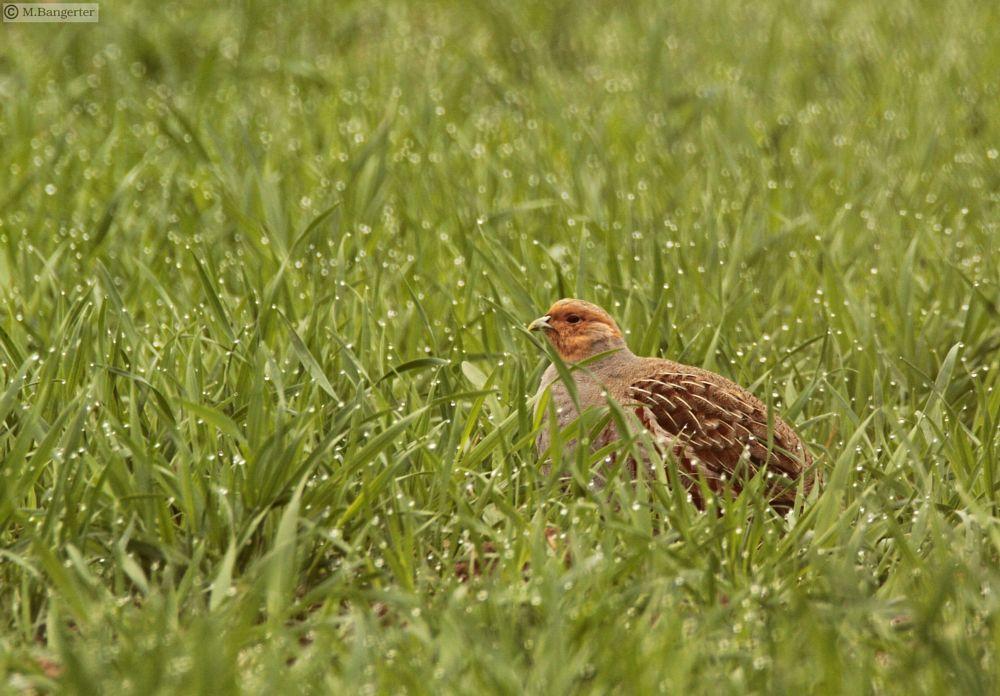 Photo in Animal #partridge #in the morning dew #bird