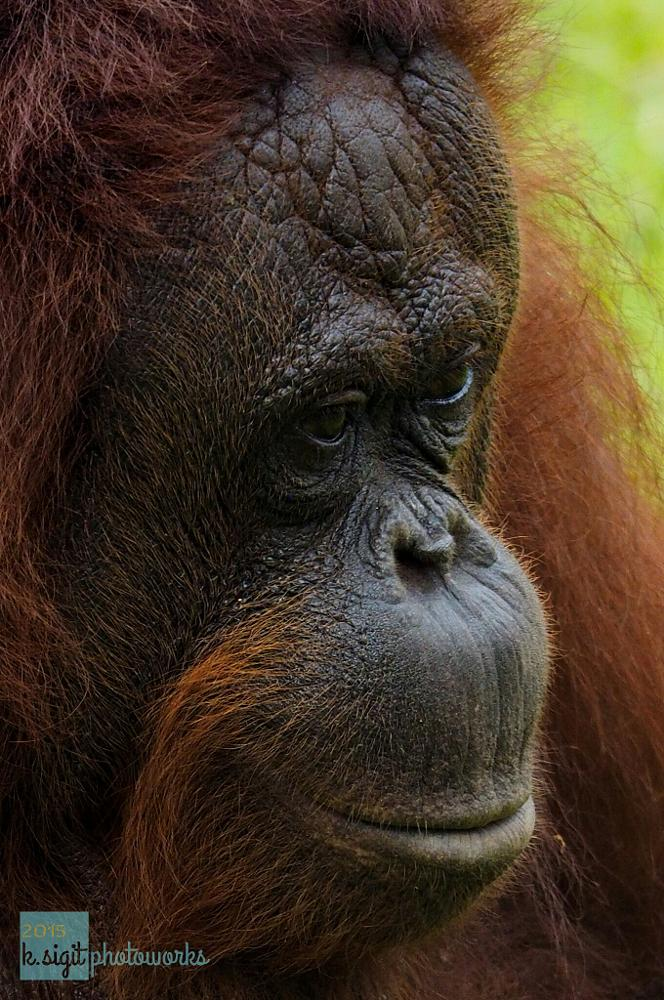 Photo in Animal #animals #orangutan #borneo #jungle