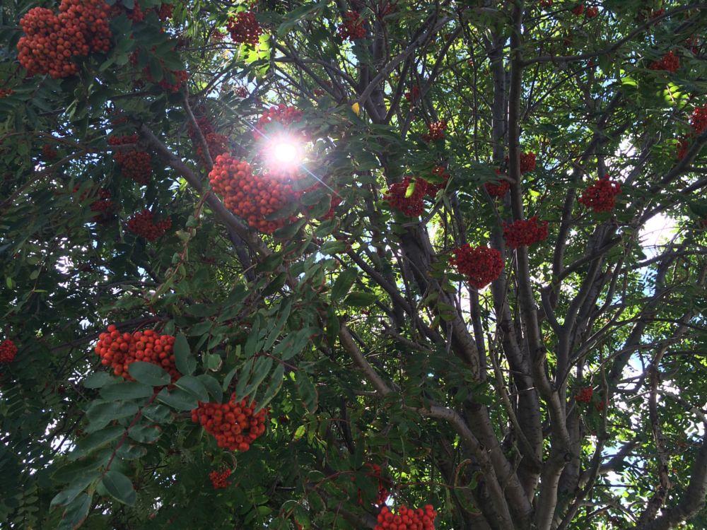 Photo in Nature #berries #tree #sunlight #ontario #canada