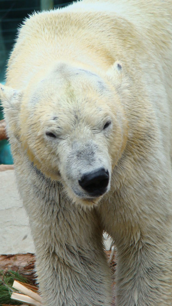 Photo in Animal #bear #san diego zoo #calif. animal #polar bear